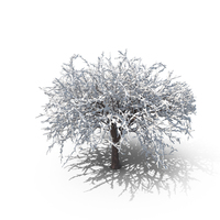 Winter Cherry Tree PNG & PSD Images