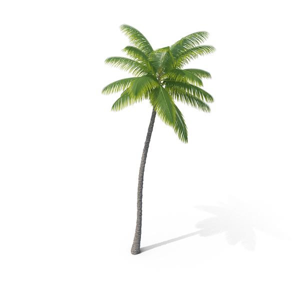 Palm Tree PNG & PSD Images