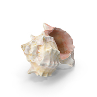 Conch Sea Shell PNG & PSD Images