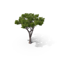 Stone Pine Tree PNG & PSD Images