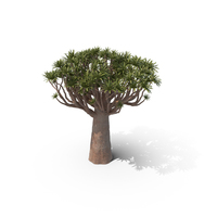 Quiver Tree PNG & PSD Images