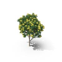 Golden Penda Tree PNG & PSD Images