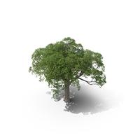 Cork Oak Tree PNG & PSD Images