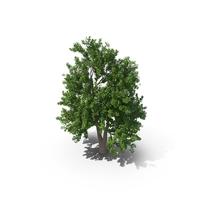 Alder Tree PNG & PSD Images