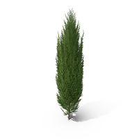 Cypress Tree PNG & PSD Images