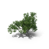 Avicennia Tree PNG & PSD Images