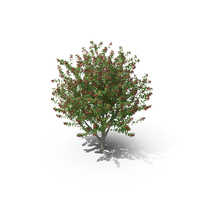 Bird Cherry Tree PNG & PSD Images