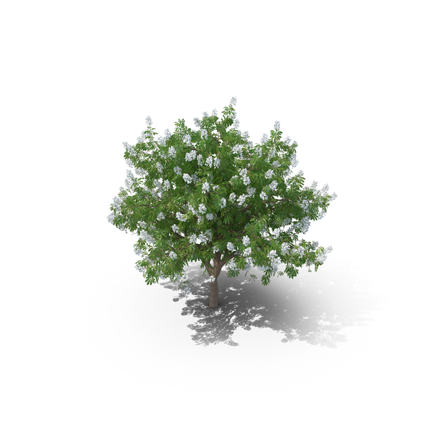 Chestnut Tree PNG & PSD Images