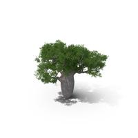 Queensland Bottle Tree 02 PNG & PSD Images