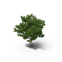 Maidenhair Tree PNG & PSD Images
