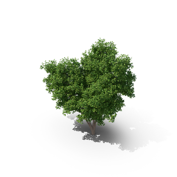 Elm Tree PNG & PSD Images