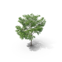 European Ash Tree PNG & PSD Images