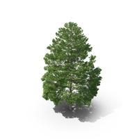 Hopea Odorata Tree PNG & PSD Images