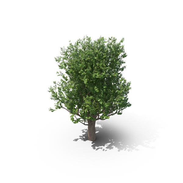 Hornbeam Tree PNG & PSD Images