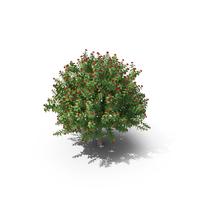 Jatropha Tree PNG & PSD Images