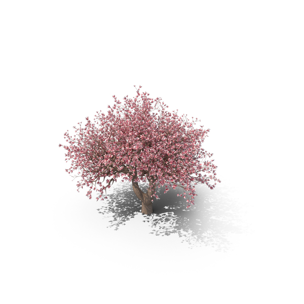 Magnolia Tree PNG & PSD Images