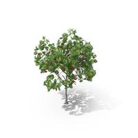 European Mountain Ash Rowan Tree PNG & PSD Images