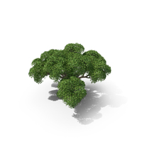 Crack Willow Tree PNG & PSD Images