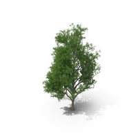 Rosewood Tipa Tree PNG & PSD Images
