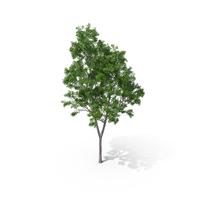 Pelawan Tree PNG & PSD Images