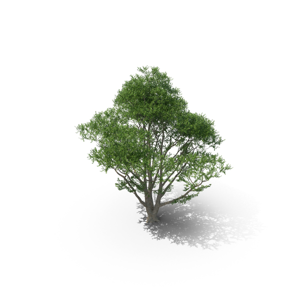 Beech Tree PNG & PSD Images