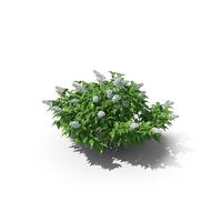 Deutzia Plant PNG & PSD Images