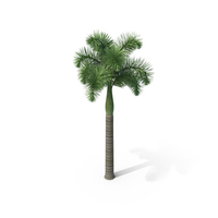Foxtail Palm Tree PNG & PSD Images