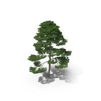 Matsu Pine Tree PNG & PSD Images