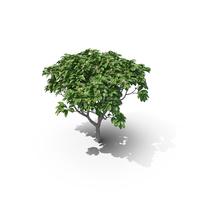 Frangipani Tree PNG & PSD Images