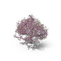 Sakura Tree PNG & PSD Images