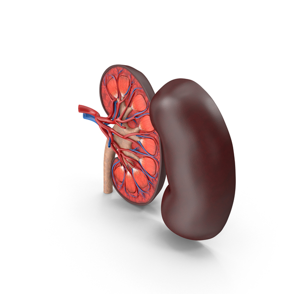 Kidney Cross-Section PNG & PSD Images