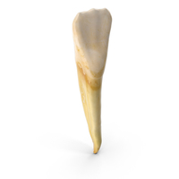Incisor Lower Jaw PNG & PSD Images