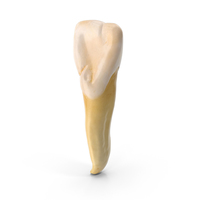 Incisor Upper Jaw Lateral PNG & PSD Images