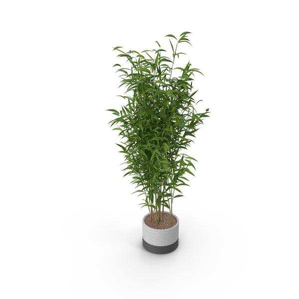 Umbrella Bamboo Plant PNG & PSD Images