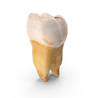 Molar Lower Jaw Right PNG & PSD Images