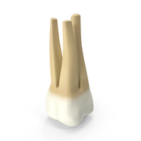 Human Upper First Molar PNG & PSD Images