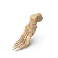 Human Foot Bones Anatomy Bent Pose PNG & PSD Images