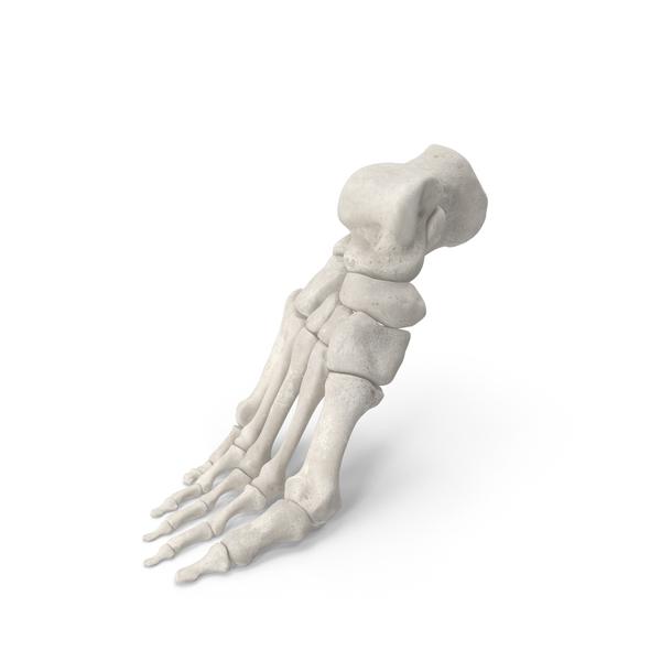 Human Foot Bones Anatomy Bent Pose White PNG & PSD Images