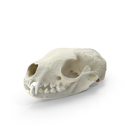 White Breasted Marten Skull and Jaw PNG & PSD Images