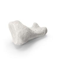 Proximal Phalanx Bone of Big Toe White PNG & PSD Images