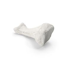 Proximal Phalanx Bone of Index Toe White PNG & PSD Images