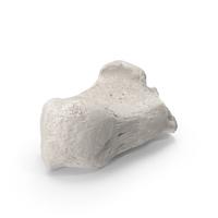 Calcaneus Bone White PNG & PSD Images