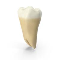 Human Teeth Lower Third Molar Wisdom PNG & PSD Images