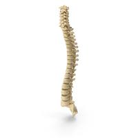 Human Spine Bones Anatomy PNG & PSD Images