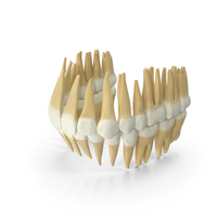 Realistic Teeth Permanent Dentition PNG & PSD Images