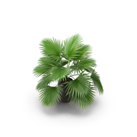 Palm PNG & PSD Images