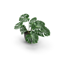 Monstera PNG & PSD Images