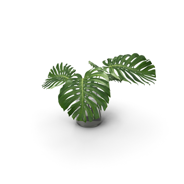 Monstera Leaves PNG & PSD Images
