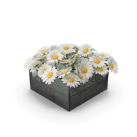 Chamomile PNG & PSD Images