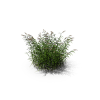 Common Reed Grass PNG & PSD Images